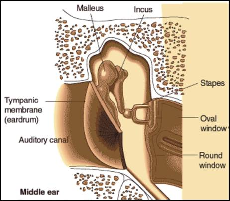 The three bones in the middle ear